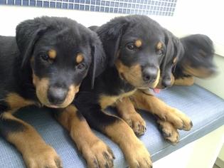 Rottweiler Puppy For Sale in MIAMI BEACH, FL