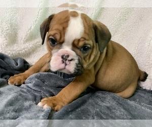 English Bulldog Puppy for sale in MBORO, TN, USA