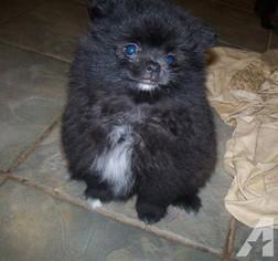 Pomeranian Puppy for sale in CRANFORD, NJ, USA