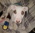Puppy 0 Bull Terrier
