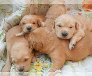 Golden Retriever Puppy for sale in MENDOTA, IL, USA