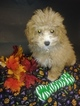 Bichon Frise Puppy For Sale in PLYMOUTH, IN, USA
