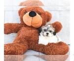 Gizmo The Teddy Bear Puppy