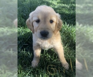 Golden Retriever Puppy for sale in MORIARTY, NM, USA