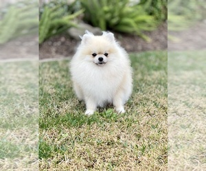 Father of the Pomeranian puppies born on 02/23/2021
