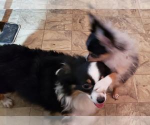 Mother of the Australian Shepherd puppies born on 02/10/2020