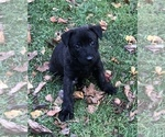 Puppy 7 Dutch Shepherd Dog
