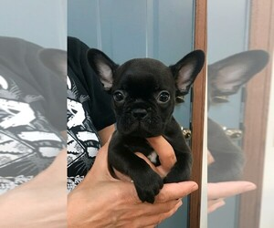 French Bulldog Puppy for sale in COSHOCTON, OH, USA