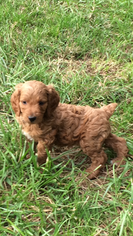 Brittnepoo Puppy for Sale in COLUMBIA, Kentucky USA