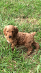 Brittnepoo Puppy For Sale in COLUMBIA, KY, USA