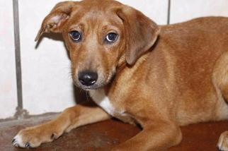 Ketti - Golden Retriever Dog For Adoption