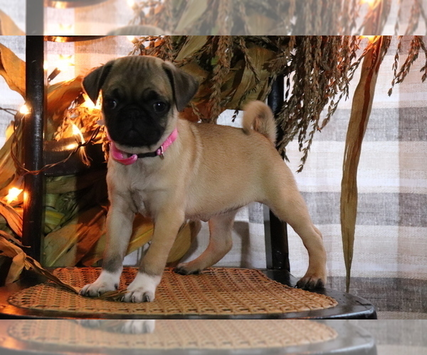 Medium Photo #2 Pug Puppy For Sale in SHILOH, OH, USA