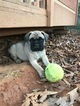Mastiff Puppy For Sale in WEAVERVILLE, NC, USA