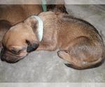 Puppy 4 Rhodesian Ridgeback
