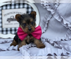 Yorkshire Terrier Puppy for sale in LANCASTER, PA, USA