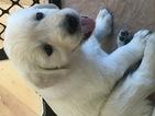 Golden Retriever Puppy For Sale in KIEL, WI,