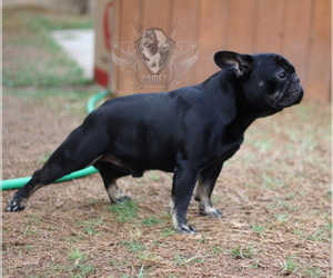 Father of the French Bulldog puppies born on 08/07/2019