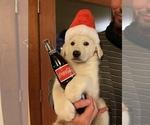 Small German Shepherd Dog-Great Pyrenees Mix