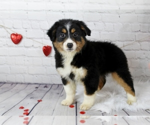 Miniature Australian Shepherd Dog for Adoption in CAULFIELD, Missouri USA