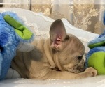 Small Photo #2 French Bulldog Puppy For Sale in JACKSONVILLE, FL, USA