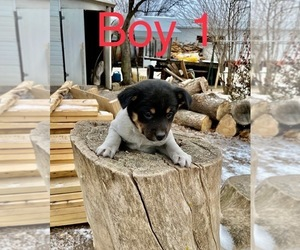 Rat Terrier-Shiba Inu Mix Puppy for sale in ARTHUR, IL, USA