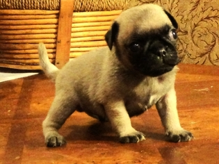 Pug Puppy For Sale in MOUNT DORA, FL