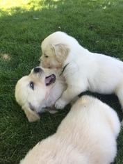 Golden Retriever Puppy For Sale in CENTERVILLE, UT, USA