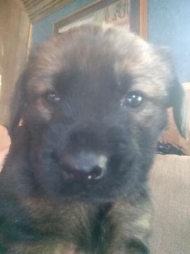 Mastishep Mix puppy