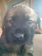 Mastishep Mix Puppy For Sale in TOWNSEND, DE, USA