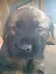German Shepherd Dog-Mastiff Mix Puppy For Sale in TOWNSEND, DE, USA
