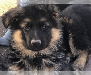 German Shepherd Dog Puppy for Sale in HASLET, Texas USA