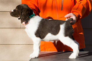 Brittany Puppy For Sale in LA GRANDE, OR, USA