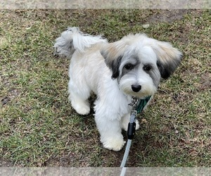 Havanese Puppy for sale in EXETER, NH, USA