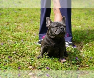 Mother of the French Bulldog puppies born on 03/29/2021
