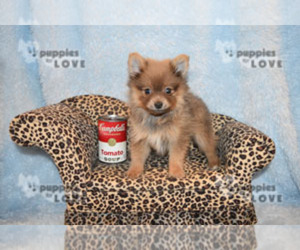 Pomeranian Puppy for Sale in SANGER, Texas USA