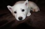 Puppy 3 Alaskan Husky-Pomeranian Mix