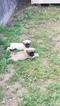 Mastiff Puppy For Sale in ESCALON, California,