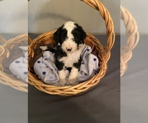 Sheepadoodle Puppy for Sale in ANDERSON, Indiana USA
