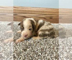 Australian Shepherd Puppy for Sale in LODA, Illinois USA