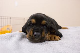 Basset Hound Puppy For Sale in PETERSBURG, IN, USA