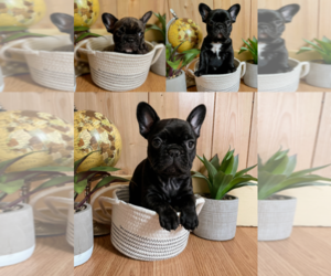 French Bulldog Puppy for sale in HAMPTON, VA, USA