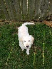 Goldendoodle Puppy For Sale in SAINT CLAIR SHORES, MI, USA