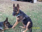 German Shepherd Dog Puppy For Sale in SPARTANBURG, SC