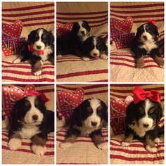 Bernese Mountain Dog Puppy for sale in NEW LEXINGTON, OH, USA