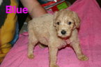 Goldendoodle Puppy For Sale in DAVENPORT, FL