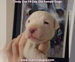 Small Photo #10 Dogo Argentino Puppy For Sale in PINEVILLE, MO, USA