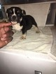 English Bulldogge Puppy For Sale in FRESNO, California,