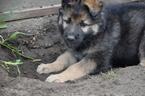 Puppy 2 King Shepherd