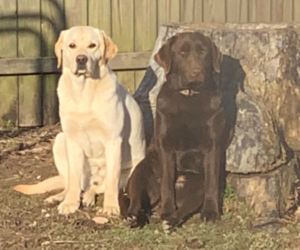 Father of the Labrador Retriever puppies born on 05/21/2021