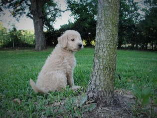 Labradoodle Puppy For Sale in AZLE, TX